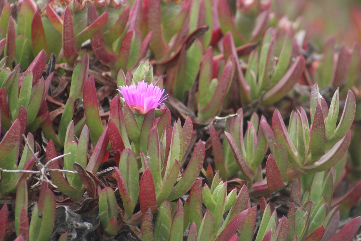 Being a pink flower amongst the hardened lava flowfield